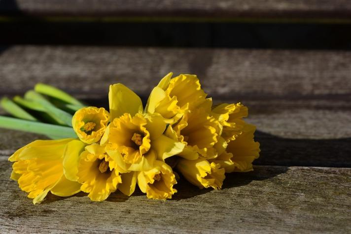 daffodils-3152611_1280