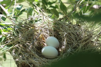 bird-eggs-2374791_1280