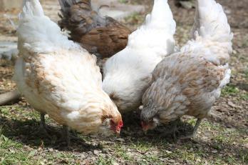 chicken-1224519_1280