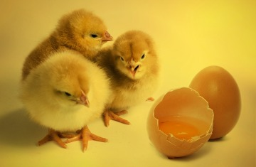 chicks-2965846_1280